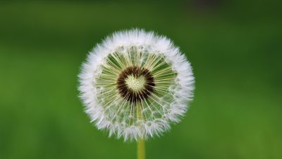 Dandelion flower, White, Green background, Aesthetic, Heart, Closeup, Beautiful, 5K