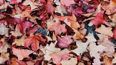 Maple leaves, Purple, Daytime, Fallen Leaves, Foliage, Autumn leaves