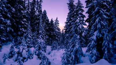 Pine trees, Snow covered, Purple sky, Sunset, Winter, 5K