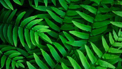 Green leaves, Ferns, Leaf Background, Spring, Closeup, 5K