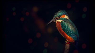Kingfisher, Bird, Wildlife, Dark background, Closeup, Blue Bird, Tree Branch
