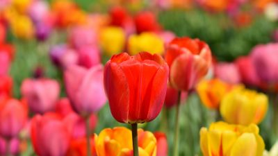 Tulip Field, Multicolor, Colorful, Flower garden, Spring, Blossom, Bloom, Red, Yellow, 5K