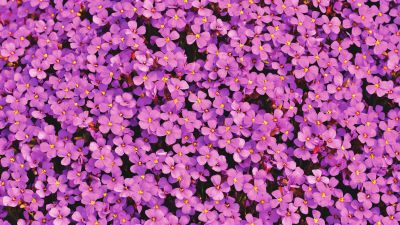 Aubrieta Flowers, Beautiful, Violet, Blossom, Spring, Bloom, Purple, Floral Background, 5K