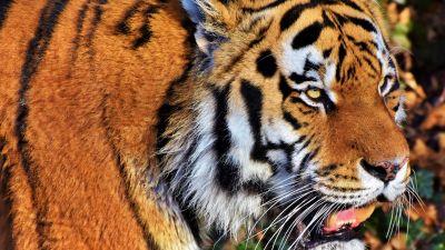 Tiger face, Predator, Big cat, Wild animal, Zoo, Closeup, Carnivore