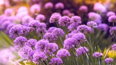 Purple Flowers, Flower garden, Blossom, Bloom, Spring, Bokeh, Vibrant, 5K