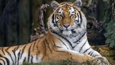 Siberian tigress, Wild animal, Trees, Zoo, Relax, Predator, Big cat, Carnivore, 5K