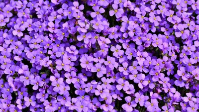 Aubrieta, Violet flowers, Blossom, Spring, Bloom, Purple, Floral Background, Aesthetic, 5K