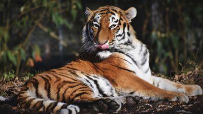 Siberian tiger, Predator, Big cat, Carnivore, Wild animal, Zoo, Closeup, 5K