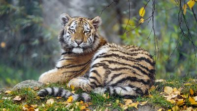 Young tigress, Carnivore, Autumn leaves, Grass, Wild animal, Zoo, Big cat, Predator, Portrait, Siberian tiger, 5K