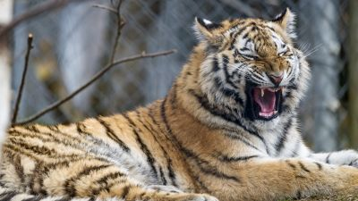 Young tigress, Yawning, Wild Animal, Big cat, Predator, Closeup, Carnivore, Zoo, Siberian tiger, 5K