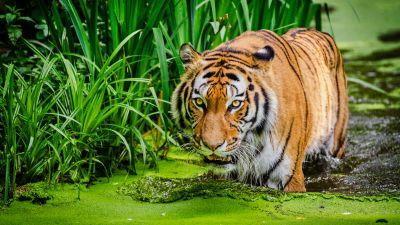 Siberian tiger, Pond, Big cat, Green
