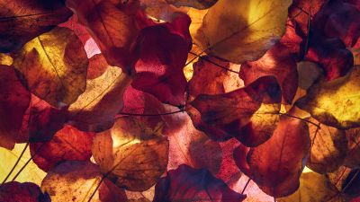 Maple leaves, Autumn leaves, Foliage, Yellow leaves, Fallen Leaves, 5K