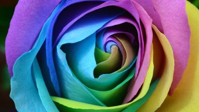 Rose flower, Colorful, Multicolor, Rainbow, Beautiful, Macro, Closeup, Floral, Blossom, Bloom, 5K