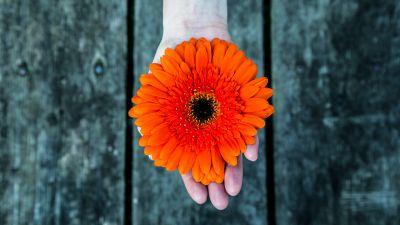 Orange flower, Gerbera Daisy, Hand, Closeup, Bokeh, Wooden background, 5K
