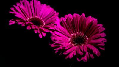 Gerbera Daisy, Purple Flowers, Black background, macro, Closeup, 5K