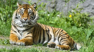 Sumatran tiger, Big cat, Wild animal, Green Grass, Stare, Predator, Carnivore, Zoo