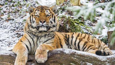 Siberian tiger, Snow, Wood, Winter, Big cat, Wild animal, Predator, Carnivore, 5K