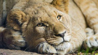 African Lion, Cub, Big Cat, Young Lion, Zoo, Wild, Predator, Carnivore, 5K