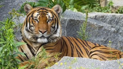 Malayan tiger, Big Cat, Wild animal, Predator, Carnivore, Tiger face, 5K