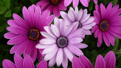 Daisy flowers, Purple flowers, Pink flowers, Garden, Closeup, Bloom, Blossom
