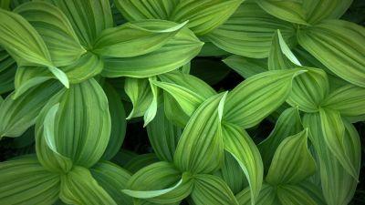 Green leaves, Closeup, Plant, 5K
