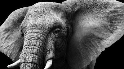 Elephant, Monochrome, Black background, Closeup