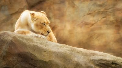 Lioness, Paradise Wildlife Park, Animal park, Zoo, Golden yellow, Rock, 5K