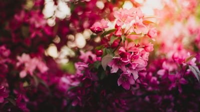 Pink Flowers, Purple, Bokeh, Blossom, Floral, Daytime, 5K