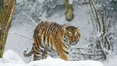 Siberian tiger, Amur tiger, Snow fall, Winter, Cold, Big cat, Wild animal, Predator, Walking, Carnivore, 5K