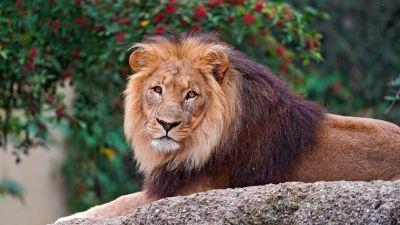 Lion, Wild animal, Carnivore, Predator, Portrait, Closeup, Big cat