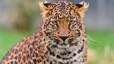 Leopard, Zoo, Wild animal, Closeup, Face, Big Cat, Carnivore, Predator, Portrait