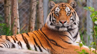Siberian tiger, Amur tiger, Zoo, Big Cat, Carnivore, Predator, Wild animal, Starring