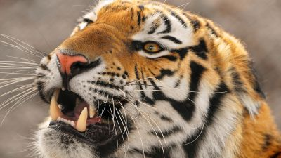 Amur tiger, Siberian tiger, Big cat, Carnivore, Predator, Young tigress, Zoo, Wild animal