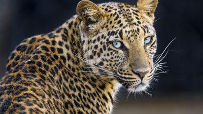 Leopardess, Jaguar, Closeup, Portrait, Big cat, Wild animal, Predator, Carnivore, Face