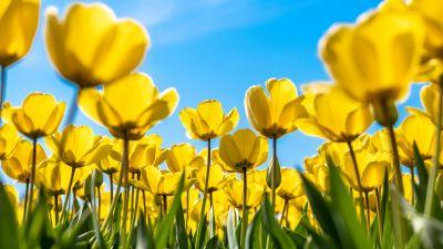 Tulips, Yellow flowers, Blossom, Blue Sky, Bloom, Flower garden, Daylight, Sunny day, 5K