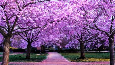 Cherry Blossom Trees, Purple Flowers, Pathway, Park, Floral, Colorful, Spring, Beautiful, 5K