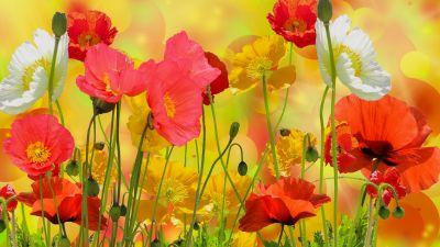 Poppy flowers, Colorful, Bloom, Blossom, Garden, Beautiful, Flower heads, Summer, Flower buds, Red flowers