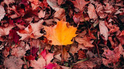 Maple leaves, Autumn, Fallen Leaves, Leaf Background, 5K