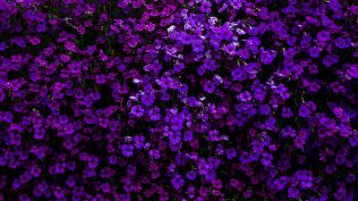 Purple Flowers, Floral Background, Beautiful, Blossom, Garden, Aubrieta Flowers, 5K