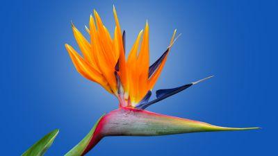 Bird of paradise flower, Crane Flower, Blue background, Orange flower, Petals, Strelitzia, Beautiful