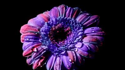 Gerbera Daisy, Purple Flower, Black background, Closeup, Macro, Blossom, Bloom, Spring, Flower heads, Beautiful, Petals, Dew Drops