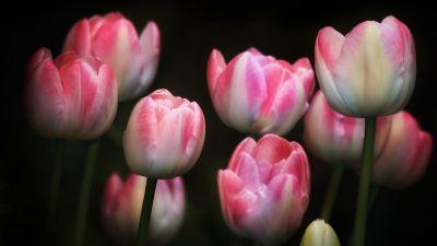 Tulips, Pink flowers, Black background, Spring, Garden, Flora, Bright