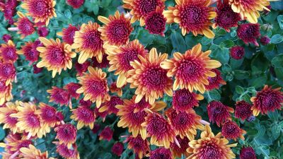 Chrysanthemum flowers, Yellow, Purple, Blossom, Autumn Flowers, Floral Background, Green leaves, Close up