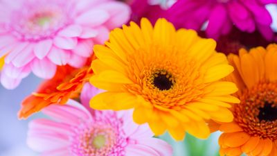Gerbera Daisy, Yellow flower, Pink, Orange, Closeup, macro, Blurred, Selective Focus, Vibrant, Colorful, Floral Background, Spring, Blossom, 5K