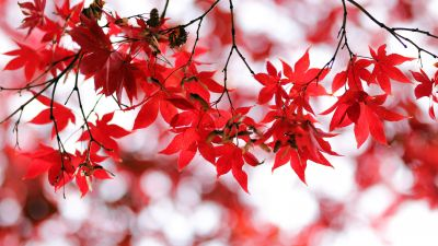 Red leaves, Bokeh, Closeup, Autumn leaves, Maple leaves, Branches, Fall, Blurred, Seasons, 5K