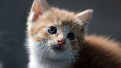 Cat, Kitten, Pet, Domestic Animals, Cute Cat, Portrait, Fur, Baby cat, 5K