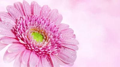 Gerbera Daisy, Pink flower, Water drops, Dew Drops, Closeup, Macro, Pink background, Blossom, Bloom, Spring, 5K