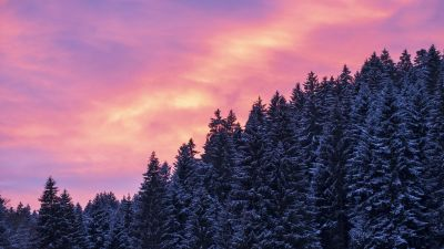 Snow covered, Tall Trees, Sunset, Afterglow, Winter, Purple sky, Scenery, 5K