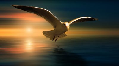 Seagull, White Birds, Sunset Orange, Reflection, Flying bird, Wings, Blur background, 5K