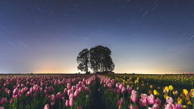 Tulip Field, Star Trails, Pink flowers, Night sky, Long exposure, Landscape, Silhouette, Trees, Flower garden, 5K